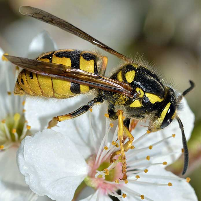Identify Types Of Bees Id Your Bee The Bee Hunter